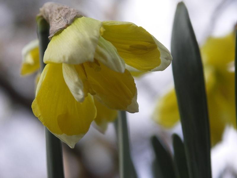 [Bild: Narcissus_Cassata_20120401.jpg]