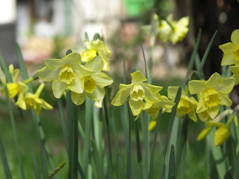 [Bild: Narcissus_Pipit_20120429.jpg]