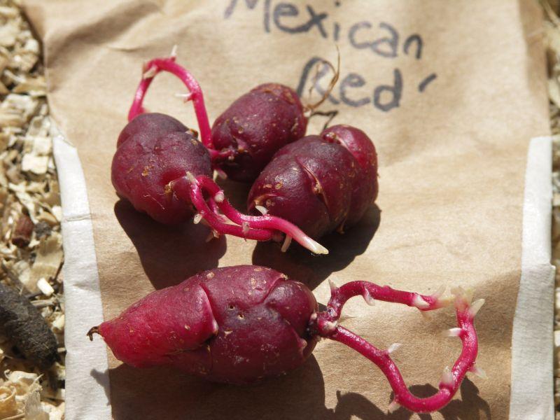[Bild: Oca_Mexican_Red_20120527.jpg]